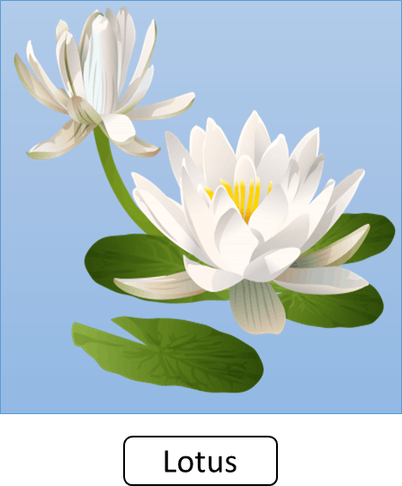 This image shows the plant of lotus