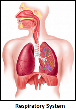 The image of respiratory system