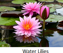 The image of water lilies flowers