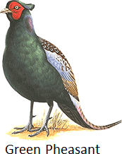 The image of green pheasant