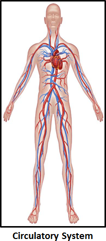 The image of circulatory system