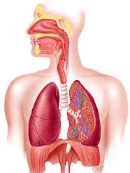 The image of which system of the human organ