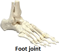 The image of the foot joint – Explain Role