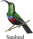 This bird has pointed or long beaks or not – Choice C