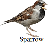 This bird has flat and broad beak or not – Choice A