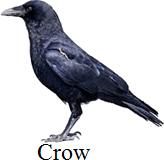 This bird has flat and broad beak or not – Choice B