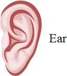 This image shows the ear