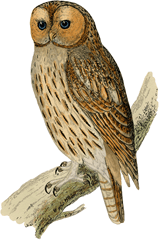 Image shows the nocturnal bird – Choice C
