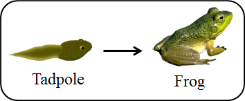 This pair refers tadpole to frog