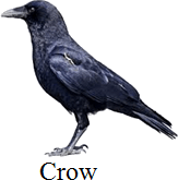 This bird is defer to other birds – Choice A