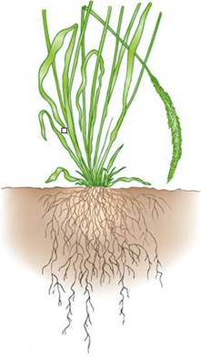 This diagram shown the root system