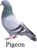 Find which bird that can fly over long distance – Choice B