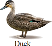 This bird is a wading or not – Choice D