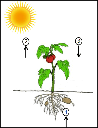 This diagram show the plant with root