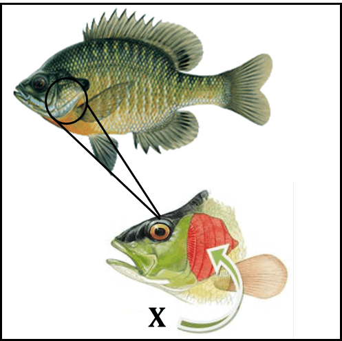 Figure shows part labelled of fish