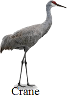 This bird is the flightless – Choice D