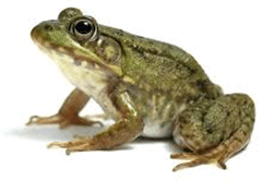 Image shows the amphibian animal