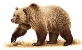 Image shows the wild animals of bear