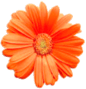 This image shows the orange colour flower