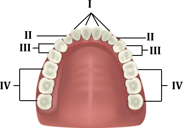 Image shows the structure of teeth