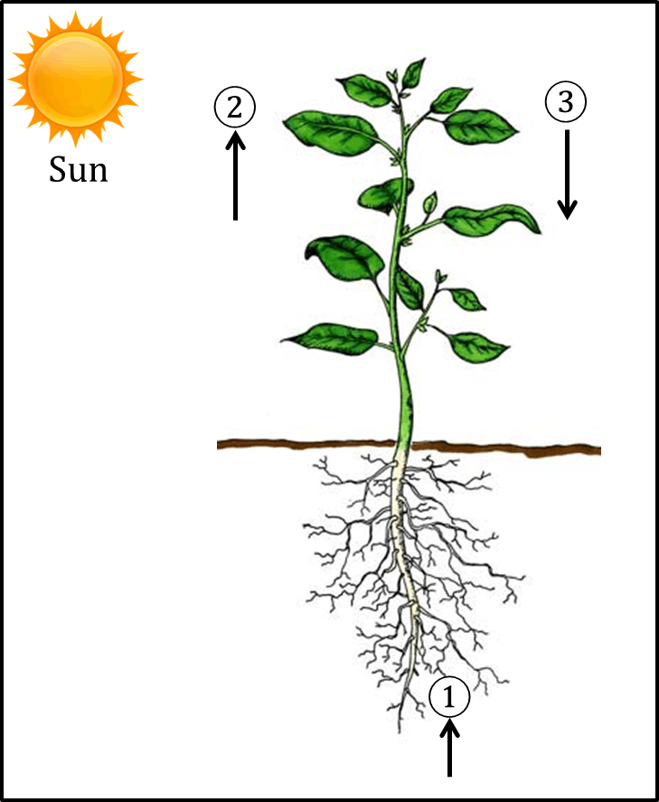 Figure shows the process of photosynthesis in plant