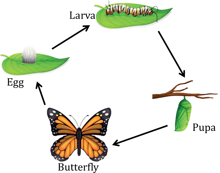 Diagram shows the life cycle of a butterfly