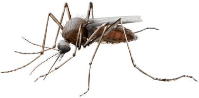 Image shows the mosquito