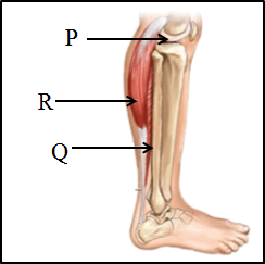 This diagram shows the lower leg with its muscles