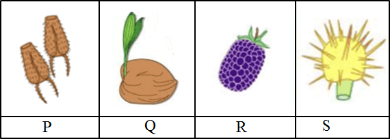 This figure shows the fruits and seeds of P, Q, R and S