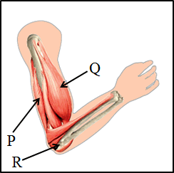 The given diagram shows the upper arm with its muscles