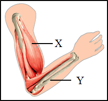 This figure shows the arm of muscular system