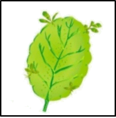 This figure shows the leaf of a plant