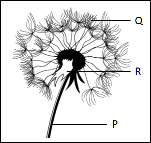 This image shows the figure of dandelion flower