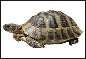 This figure shows the animal of turtle