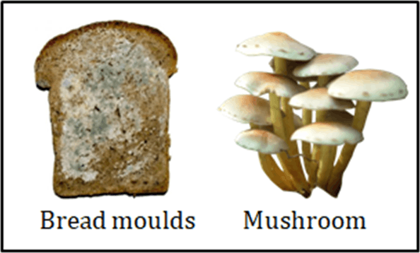 Image of the Mushrooms and Bread mould