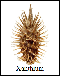 This image shows the xanthium