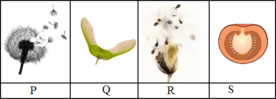 This figure shows the P, Q, R and S fruits and seeds