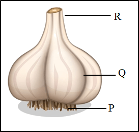 This image shows the garlic