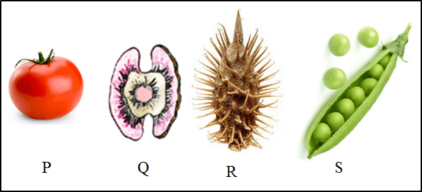 This figure given above shows four different fruits/seeds