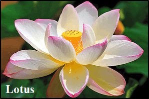 This image shows the flower of lotus