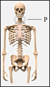 This figure shows the part of skeletal system