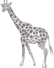 Image of Giraffe in given image