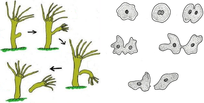 Figure shows asexual reproduction in hydra and amoeba