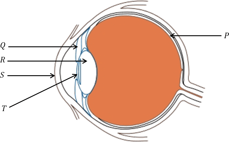 Nstse national science talent search exam unified council class 8 diagram of human eye ccuart Images