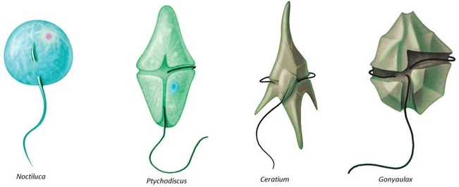 Image showing examples of dinoflagellates.
