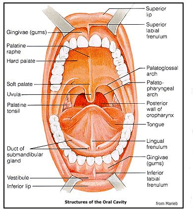 Diagram of the mouth