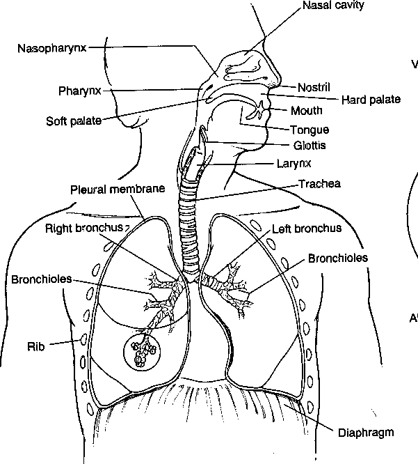 Diagram of the lower respiratory tract
