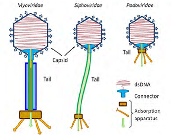 Tailed bacteriophages