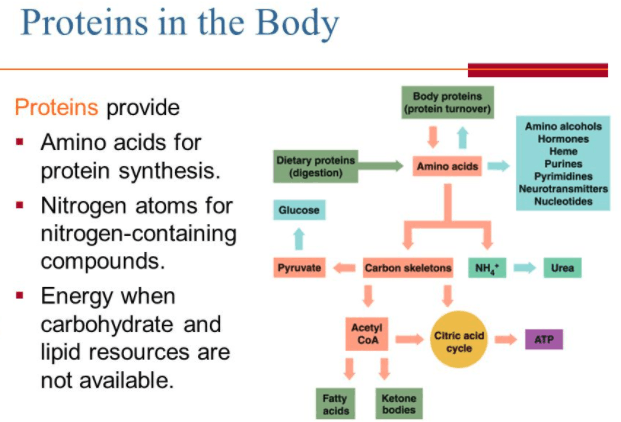 Image showing proteins in the body.