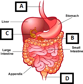 Figure of the parts of digestive system